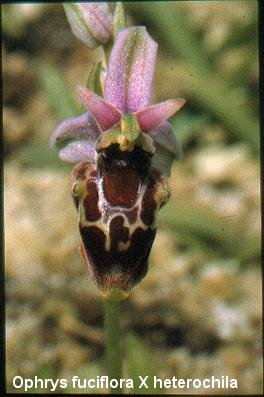 Ophrys aff. forestierii
