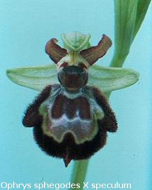 Ophrys sphegodes X O. speculum